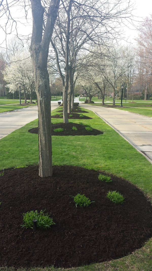 Trees planted in mulch beds in median.